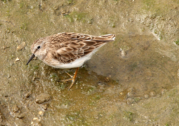 hawk's eye view of a Least Sandpiper (Calidris minutilla)