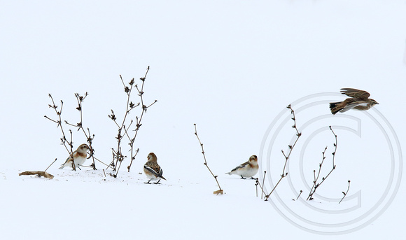 winter scene near London, ON... Snow Buntings and a Horned Lark