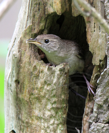 House Wren at nest (with fecal sac)