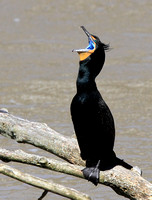 Double-crested Cormorant - breeding plumage