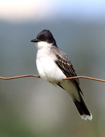 Kingbirds and Shrikes