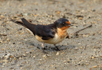 female Barn Swallow collecting mud for nest