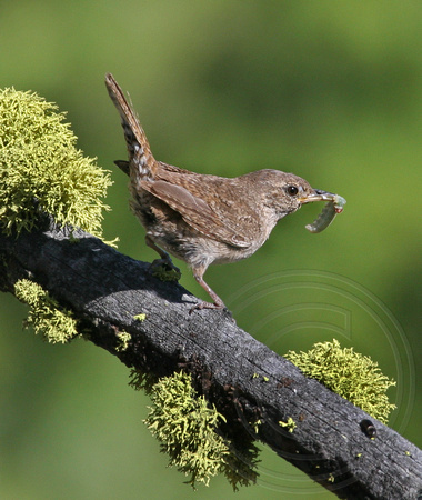 House Wren with a grub for nestlings