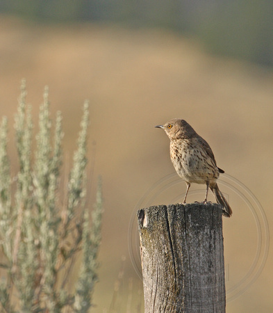 Sage Thrasher in early morning light