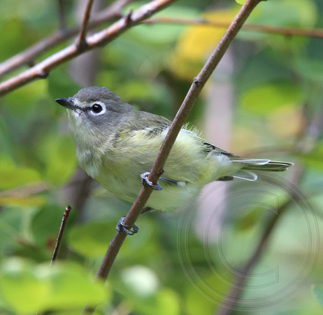 Cassin's Vireo with new tail feathers growing in